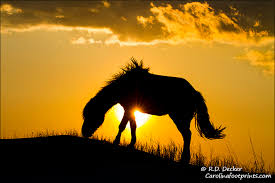 wild horses sunset. Simple Wild A Wild Horse Feeds Atop A Sand Dune At Sunset Along The North Carolina  Coast And Wild Horses Sunset