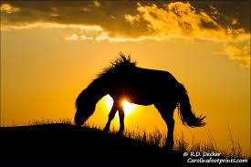wild horses sunset. Fine Horses A Wild Horse Feeds Atop A Sand Dune At Sunset Along The North Carolina  Coast With Wild Horses Sunset