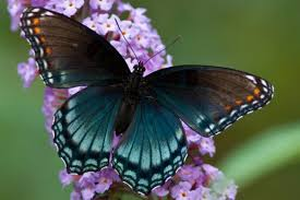 real beautiful colorful butterflies. Fine Real The Breathtaking Colors Of Most Beautiful Butterflies 17 Pictures 12 And Real Beautiful Colorful Butterflies O