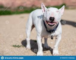 Light Box Terrier For Sale Smiling Mini Bull Terrier With His Eyes Closed Stock Image