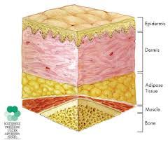 Image result for adipose tissue