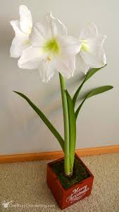 amaryllis gift bulbs jackson perkins warmest wishes amaryllis