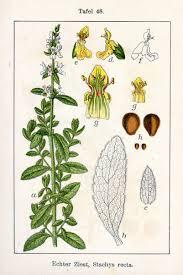 Stachys recta - Wikipedia, la enciclopedia libre