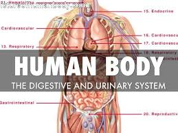organs that are part of the digestive system digestion five digestive system and urinary system