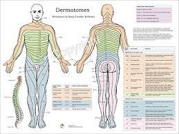 Back Nerve Chart Dermatomes Myotomes Nerve Pattern Poster 18 X 24 Chiropractic Dermatomal Chart Ebay