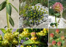 Euphorbia fragifera Jan - Sistema informativo sulla flora della Val ...
