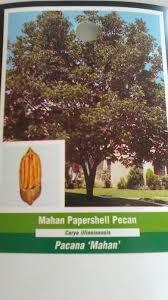 Uga Pecan Pollination Chart Jackson Pecan Tree