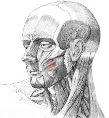 face anatomy blake ketchum muscular anatomy of the face