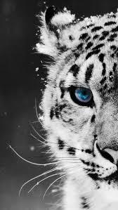 tiger roar tumblr. Wonderful Tumblr Animals Background Black Roar Snow Tiger Tumblr Wallpaper Throughout Tiger Roar Tumblr M