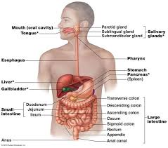 Accessory Organs Of The Digestive System Fascinating Accessory Organs Of The Digestive System Interesting