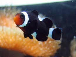 black and orange clown fish. Interesting Clown Black Clown Fish  Photo5 And Orange Clown Fish T