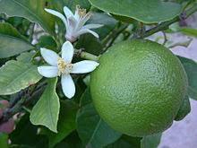 Resultado de imagen de lima fruta