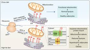 Clogging the mitochondrial protein-entry gate promotes obesity.,Nature  Metabolism - X-MOL