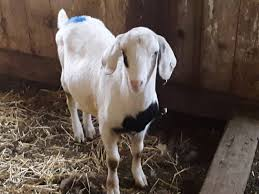 Dairy Goat Breeds 14 Common Goat Breeds In America Family Farm Livestock