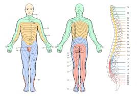 Spinal Dermatomes Chart Thoracic Radiculopathy Physiopedia