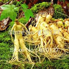 2019 30 Seeds Stratified Chinese Hardy Panax Ginseng Korea Ginseng Seeds Herbal Plant Seeds Grow Your Own Ginseng Roots From Hopestar168 15 68