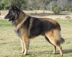 belgian shepherd dog groenendael zedly