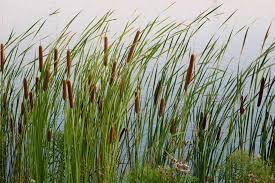 Image result for ​Cattail Plants