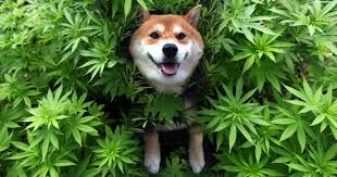 use of cannabis oil in dogs
