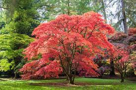 growing japanese maples reader s