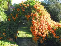 Garden Design Garden Design With White Wall With A Climbing Plant Wall Climbing Plants Australia