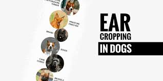 Ear Cropping In Dogs Price Legality Surgery Aftercare