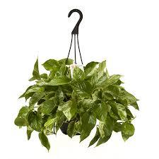 Exotic Angel Plants Rope hoya (L3927HP)