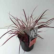 Plantenwinkelnl Lampenpoetsersgras Pennisetum Setaceum Fireworks