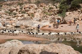 thousands forced to move as drought strikes puntland al jazeera people have travelled many hundreds of kilometres to bring their surviving herds to areas of so a where there is still pasture and a water source