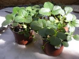 """Résultat de recherche d'images pour """"des fraises sur mon balcon"""""""