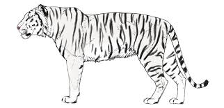 tiger black and white drawing. Fine White Howtodrawbigcatscolorstiger6 And Tiger Black White Drawing I