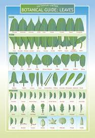 Identification Chart For Leaves Amazon Com Botanical Guide To Leaves Two Sided Color