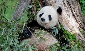 Panda Cam Birthwatch Archives
