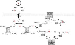 Model Of Sulfur Oxidation In Allochromatium Vinosum