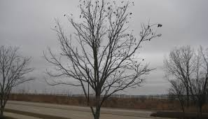 In earlier times, its wood was used in the construction of railway sleeper cars. Kentucky Coffeetree I A Rare Species Bur Oak Land Trust