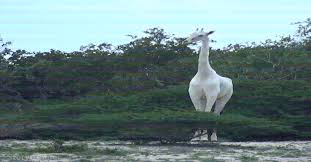 Image of: Funny Rare White Giraffes Caught On Camera For The First Time Natureisfuckinglit Reddit Rare White Giraffes Caught On Camera For The First Time