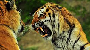 siberian tiger vs bengal tiger. Simple Siberian Siberian Tiger Vs Bengal And Siberian Tiger Vs Bengal V
