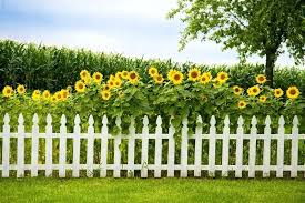 white fence ideas. White Picket Fence Landscaping Ideas Sunflowers A