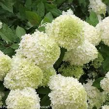 hydrangea arborescens dosage