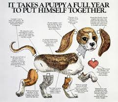 Cavalier Weight Chart Cavalier King Charles Spaniel Size Chart Cavalier King