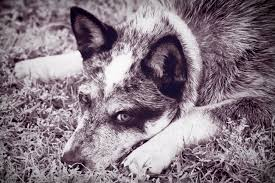 essay animal a beast of a literary magazine essay blue heeler unwinding by kathy clark for more information