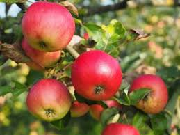 apple food. a screening of 2012 film by catherine peix, in french with english subtitles. apple food