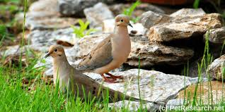 Mourning Dove Age Chart Mourning Doves And Their Young All Our Paws