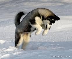 baby husky in snow. Modren Husky Desktop Wallpaper Baby Siberian Huskies 2048 X 1536 334 Kb Jpeg On Husky In Snow T
