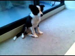 Border Collie Puppy 4 Months