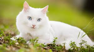 have you tried essential oils for fleas on cats and dogs