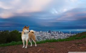 shibe wallpaper. Delighful Wallpaper Wide  With Shibe Wallpaper A