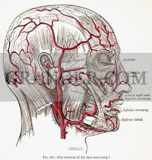 arteries of the face image of circulatory system the arteries of the face and scalp