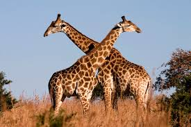 Image result for tall as a giraffe