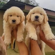 Golden Retriever puppies for sale near me - Home   Facebook
